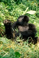 Rwanda, Six year old mountain Gorilla, March Fine Art Print