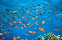 Scalefin Anthias, Elphinstone Reef, Red Sea, Egypt Fine Art Print