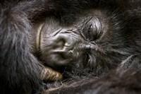 Rwanda, Volcanoes NP, Mountain Gorilla Sleeping Fine Art Print