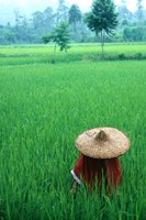 Scenic of Rice Fields and Farmer on Yangtze River, China Fine Art Print