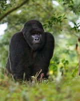 Rwanda, Kigoma, Mountain Gorilla, No 3 Silverback Fine Art Print