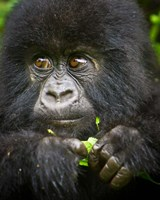 Rwanda, Volcanoes NP, Close up of a Mountain Gorilla Fine Art Print