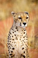 Sitting Cheetah at Africa Project, Namibia Fine Art Print