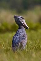 Shoebill bird hunting in wetlands, Uganda, East Africa by Martin Zwick - various sizes