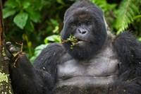 Mountain Gorilla Chewing Leaves, Rwanda by Ralph H. Bendjebar - various sizes