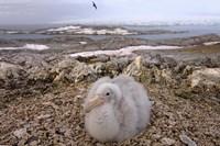 Southern giant petrel bird, Antarctic Peninsula Fine Art Print