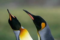 South Georgia Island, Gold Bay, King penguins by Jaynes Gallery - various sizes, FulcrumGallery.com brand