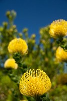 South Africa, Cape Town, Yellow pincushion flowers by Cindy Miller Hopkins - various sizes, FulcrumGallery.com brand