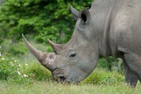 South Africa, Game Reserve, African White Rhino by Cindy Miller Hopkins - various sizes, FulcrumGallery.com brand