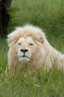 South Africa, Inkwenkwezi Private GR, lion Fine Art Print