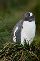 South Georgia Island, Gentoo penguins, tussocks by Cindy Miller Hopkins - various sizes, FulcrumGallery.com brand