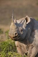 South Port Elizabeth, Shamwari GR, Black rhinoceros by Jaynes Gallery - various sizes, FulcrumGallery.com brand