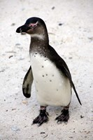 African Penguin by Kymri Wilt - various sizes