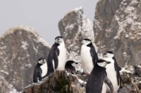 South Georgia Island, Cooper Bay, Chinstrap penguins by Jaynes Gallery - various sizes, FulcrumGallery.com brand
