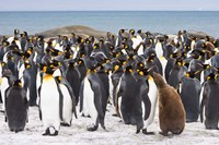 Colony of King penguins by Jaynes Gallery - various sizes