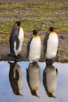 King penguin reflections by Jaynes Gallery - various sizes, FulcrumGallery.com brand