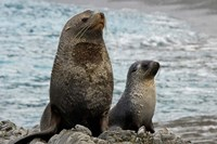 South Georgia Island. Mother fur seal and pup by Jaynes Gallery - various sizes, FulcrumGallery.com brand