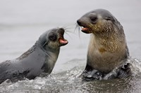 South Georgia, St. Andrews Bay, Antarctic Fur Seals by Jaynes Gallery - various sizes, FulcrumGallery.com brand