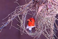 South Kruger NP. Redheaded weaver bird, nest Fine Art Print