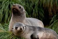 South Georgia Island, Godthul, fur seal by Cindy Miller Hopkins - various sizes, FulcrumGallery.com brand