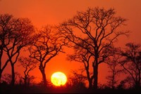South Africa, Kruger NP, Trees silhouetted at sunset Fine Art Print