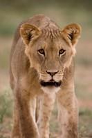 South Africa, Kgalagadi, Kalahari Desert, Lion by Paul Souders - various sizes