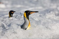 South Georgia Is, St Andrews Bay, King Penguin rookery by Paul Souders - various sizes
