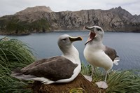 South Georgia Island, Gray-headed Albatross courtship by Paul Souders - various sizes