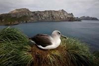 South Georgia Island, Grayheaded Albatross by Paul Souders - various sizes