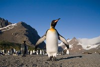 King Penguin, South Georgia Island by Paul Souders - various sizes