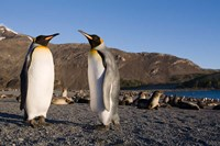 Pair of King Penguins, South Georgia Island by Paul Souders - various sizes