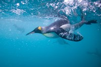 King Penguin Underwater Fine Art Print