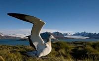 Wandering Albatross bird by Paul Souders - various sizes