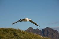 Flying Albatross by Paul Souders - various sizes
