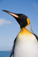 South Georgia, St Andrews Bay, King Penguin rookery by Paul Souders - various sizes