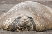 South Shetland Islands, Southern elephant seal by Jaynes Gallery - various sizes