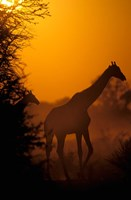 Southern Giraffe and Acacia Tree, Moremi Wildlife Reserve, Botswana by Pete Oxford - various sizes
