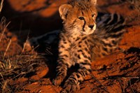 South Africa, Kalahari Desert. King Cheetah Fine Art Print