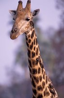 Southern Giraffe, South Africa Fine Art Print