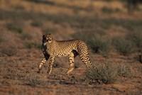 South Africa, Kgalagadi Transfrontier Park, Cheetah Fine Art Print