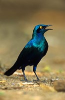 South Africa, Kruger, Greater Blue Eared Starling bird Fine Art Print
