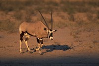 South Africa, Kalahari Desert, Gemsbok wildlife Fine Art Print