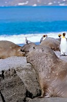 Southern Elephant Seal bull waiting  to mate, Island of South Georgia by Martin Zwick - various sizes