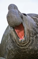 Southern Elephant Seal bull, South Georgia by Martin Zwick - various sizes