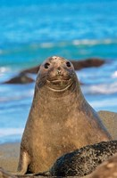 Southern Elephant Seal cow, South Georgia by Martin Zwick - various sizes
