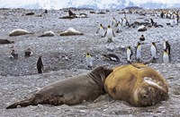Southern Elephant Seal pub suckling milk from mother, Island of South Georgia by Martin Zwick - various sizes