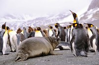 Southern Elephant Seal weaned pup in colony of King Penguins by Martin Zwick - various sizes