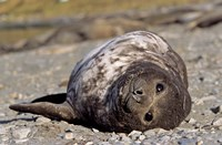 Southern Elephant Seal, portrait of pub, Island of South Georgia by Martin Zwick - various sizes