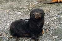 South Georgia Island, Southern fur seal pup by Charles Sleicher - various sizes, FulcrumGallery.com brand