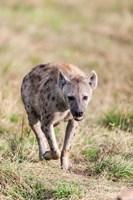 Spotted Hyena, Crocuta crocuta, in the Maasai Mara, Kenya, Africa. by Martin Zwick - various sizes